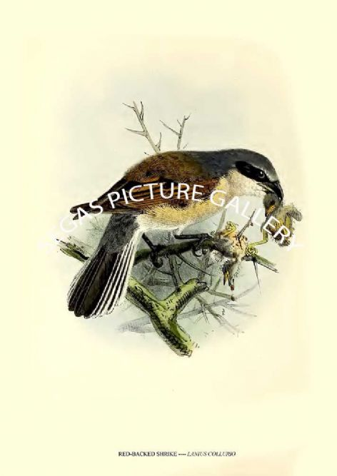 Fine art print of the RED-BACKED SHRIKE ---- LANIUS COLLURIO by J G Keulemans (1869-76)